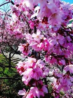 花,春,桜,ピンク