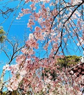 花,春,青空,桜の花