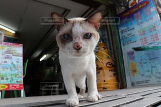 カメラを見ている猫の写真・画像素材[2970953]