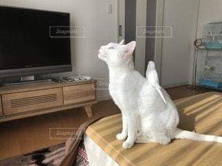 テーブルの上に座っている白い猫の写真・画像素材[2700477]