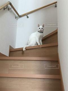 階段の白猫の写真・画像素材[2762525]