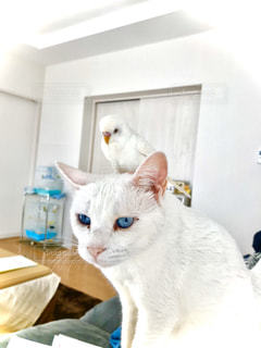 猫,動物,屋内,白,ペット,人物,白猫,可愛い,セキセイインコ,なかよし,いやし,ネコ