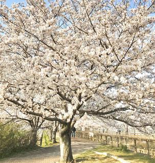 花,春,桜,屋外,満開,草,樹木,草木,桜の花,さくら,ブロッサム