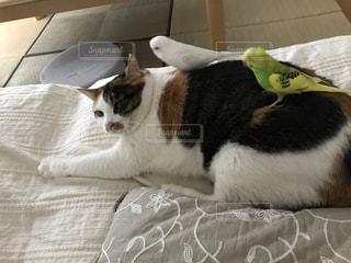セキセイインコが乗っている三毛猫の写真・画像素材[3379621]