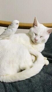 猫,動物,鳥,屋内,白,かわいい,景色,仲良し,白猫,セキセイインコ