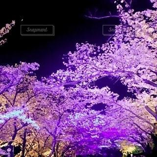桜の写真・画像素材[2654788]
