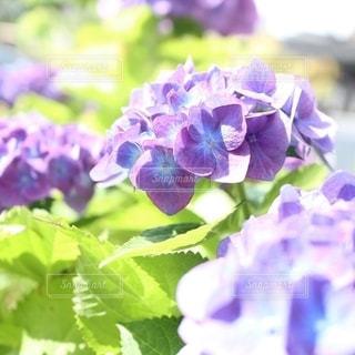 紫陽花の写真・画像素材[2623470]