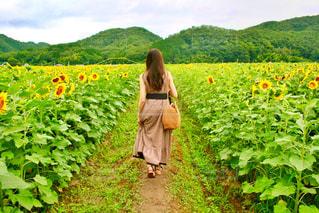 ひまわり畑の写真・画像素材[2561184]