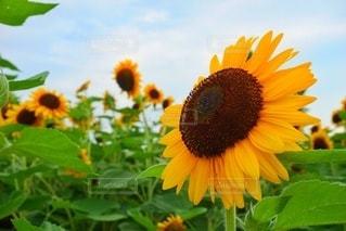 花のクローズアップ ひまわりの写真・画像素材[3501694]