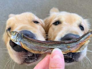 犬 ししゃもの写真・画像素材[3660937]
