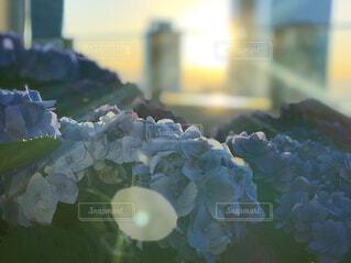 紫陽花の写真・画像素材[4442154]