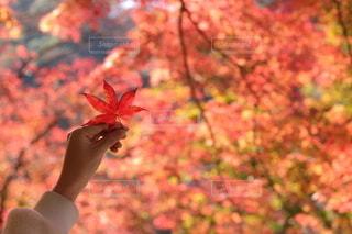 紅葉狩りにて🍁の写真・画像素材[2514988]