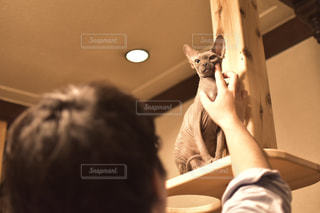 猫,動物,屋内,ペット,人物,人,スフィンクス,ネコ
