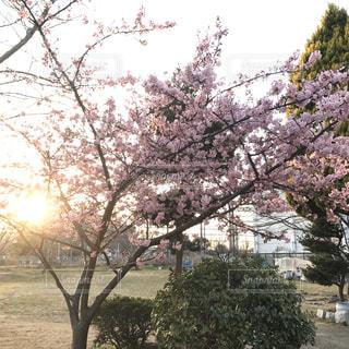 空,花,春,桜,木,屋外,夕焼け,花見,樹木,お花見,イベント,夕陽,草木,桜の花,さくら,ブロッサム