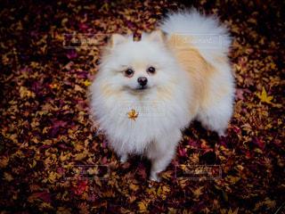 オレンジに映える白い犬の写真・画像素材[2569046]