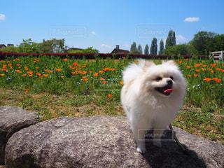 草の中に立っている小さな白い犬の写真・画像素材[2912022]