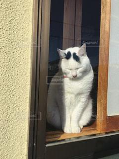 猫,動物,白,昼寝,ペット,人物,座る,ひなた,ネコ