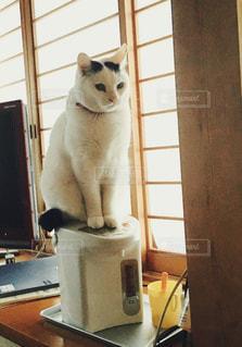 猫,動物,屋内,白,ペット,人物,座る,ネコ,ポット