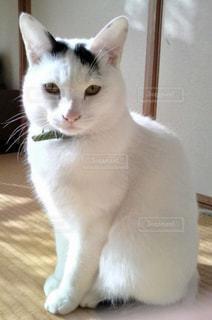 猫,動物,屋内,白,かわいい,ペット,人物,座る,置き物,ネコ,ネコ科の動物