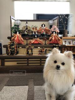 犬と雛人形の写真・画像素材[2976397]