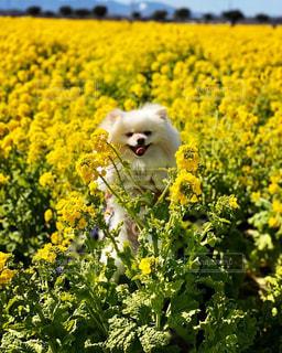 野原の黄色い花と犬の写真・画像素材[3031306]