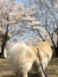 犬,自然,花,春,桜,動物,屋外,後ろ姿,満開,樹木,お花見,お散歩,岡山県,玉野市,王子が岳