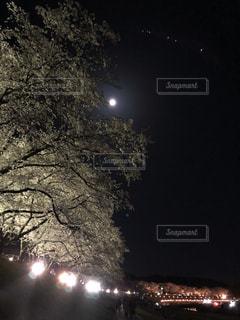 花,春,桜,夜,屋外,暗い,夜桜,満開,樹木,お花見,月,岡山県,旭川河川敷