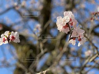 花,春,屋外,葉,鮮やか,樹木,草木,桜の花,さくら,ブロッサム