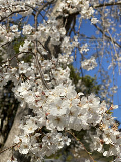 花,春,木,満開,樹木,錦帯橋,枝垂れ桜,岩国,桜の花,さくら,ブロッサム