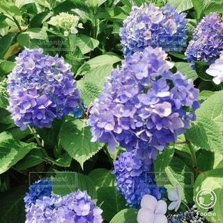 梅雨の晴れ間の紫陽花たちの写真・画像素材[3434359]