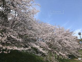 空,花,春,屋外,桜の花,さくら