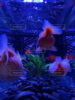 金魚のうしろ姿の写真・画像素材[2551773]