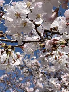 女性,家族,恋人,友だち,花,春,樹木,桜の花,さくら,ブロッサム