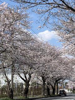 女性,家族,友だち,空,花,春,樹木,草木,桜の花,さくら,ブロッサム