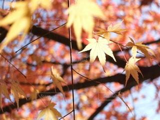 紅葉の秋の写真・画像素材[2553894]