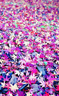 紅葉の絨毯の写真・画像素材[2583269]