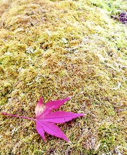 苔の上の紅葉の写真・画像素材[2583296]