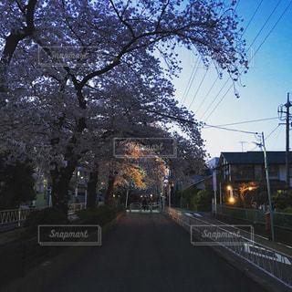 春,桜,街並み,夜桜,桜並木,日本,都立大学