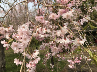 春,ピンク,桜の花,さくら