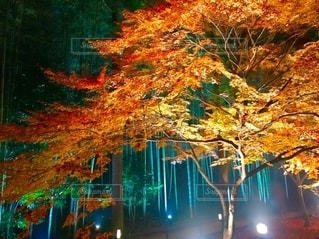 紅葉のライトアップの写真・画像素材[2540670]