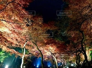 紅葉のライトアップの写真・画像素材[2549534]