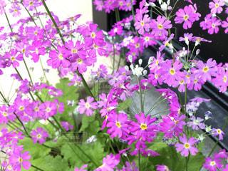 花,春,屋外,紫,景色,草木,日中,庭先