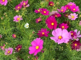 ピンクの花の写真・画像素材[3341086]