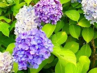 紫陽花の写真・画像素材[3377269]