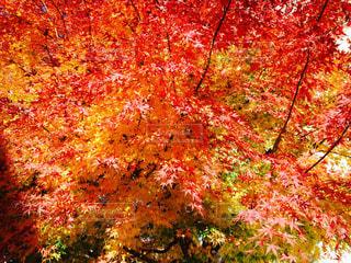 赤い木の写真・画像素材[2540552]