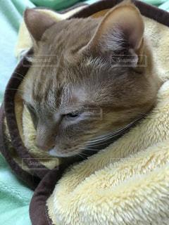 猫,動物,ペット,寝る,人物,毛布,茶トラ,ネコ,ぬくぬく