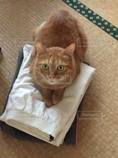 猫,動物,屋内,ペット,人物,畳,茶トラ,洗濯物,ネコ