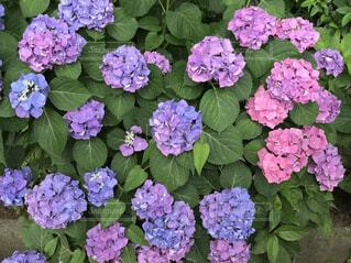 紫陽花のグラデーションの写真・画像素材[4535466]