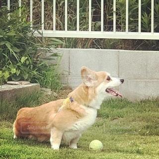 庭に座っている犬の写真・画像素材[2700128]