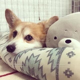 ベッドに横たわっている犬の写真・画像素材[2700316]